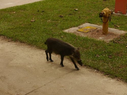 Wild boar, Bako