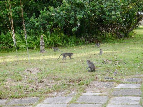 Macaques near Bako Park HQ